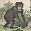 19th-century German animal illustration card: Monkeys