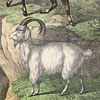 19th-century animal wall card: Mountain Goat and Sheep