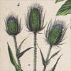 19th-century botanical art wall card: VII