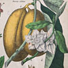 19th-century botanical art wall card: XXIX