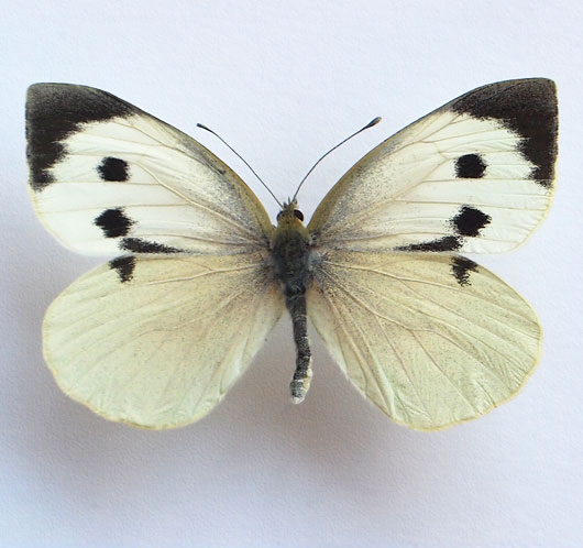 Preserved British butterfly specimen: Large Garden White