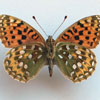 Preserved British butterfly specimen: Pearl-Bordered Fritillary