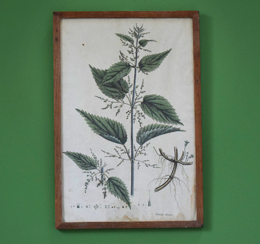 Antique hand-coloured botanical engraving: Stinging Nettle